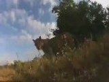 Remote Control Camera Captured By Wild Lions