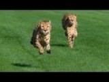 See Cheetahs Race! No, Not Lance Armstrong