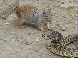 Squirrel Eating Snake Alive