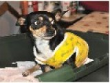 Tiny Dog Stabbed With Rusty Knife NEWSPAPER REPORT