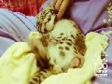 Tickling A Leopard