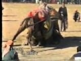 Traditional Ottoman Turkish Camel Wrestling