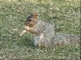 Texan Squirrel Eating A Pork Rib