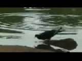 Turtle Hunting A Pigeon