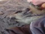 Tickling A Meerkat