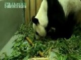 Video Of Moment A Panda Gives Birth To A Squealing Cub In Taiwan