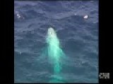 World's Only White Humpback Whale Puts On A Show Of The Coast Of Australia
