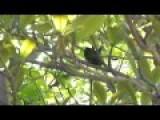 Wild Parrot Sex - Jamaica 2012