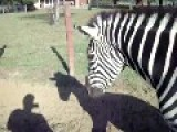 Zebra Putting Out A Cigarette Lol