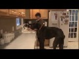 Zeus The Great Dane Is World's Tallest Dog
