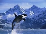 Baleines &eacute Orques