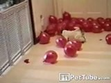 Balloon Popping Pup
