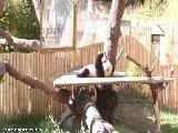 Crí As De Oso Panda Tomando El Biberon