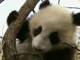 Cute Panda Cubs Celebrate New Year