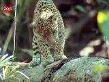 Jaguar Falls Off Log