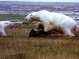 National Geographic Animals Polar Bear Vs. Polar Bear: Food Snatch