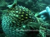Puffer Fish In Andaman