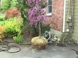 Using Lavender Twist As A Foundation Plant
