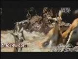 Vid&eacute O Impressionnante D&#039 Un Troupeau De L&#039 Eau Entrant Gazelle Plein De Crocodiles Mortel Le YNC.com