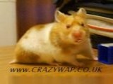 OFFICIAL Harry The Hamster And Www. CRAZYWAP .co.uk ################