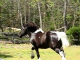 Pinto Percheron Draft Stallion, Spotted Tobiano Stud Horse
