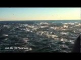 Thousands Of Dolphins Flee California Coast 2012