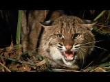 Bobcat Vs Python 01, Bobcat Attacks Python