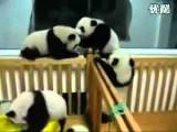 Funny Cute Baby Panda Street Fight