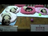 Cute Babies At Chengdu Panda Base On 17th Sept.-11