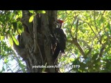 Pit Bull Sharky VS Pilated Woodpecker Not Ivory-Billed Woodpecker