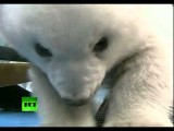 Hacen Su Primera Aparición Pública Los Oseznos Polares Gemelos En China
