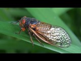 2011 TENNESSEE CICADAS: The Emergence Of Brood XIX