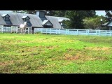 Kentucky Horse Park White Prince Rare White Thoroughbred July 27 2011