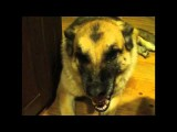 Trained German Shepherd Talking Funny Dog Smiling