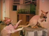 Our Very Playful Hairless Cats