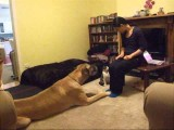 Dog & Cat Clicker Training Tricks Together - Honey The Great Dane & Muesli The Kitty