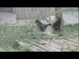 Pandas In Chengdu, China